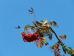burgundy mountain ash against the blue sky