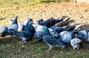 pigeons city bird animal nature