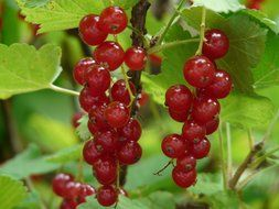 berries red currant on a bush