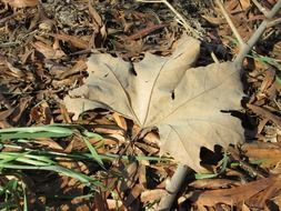 dry maple leaf on the ground in the forest