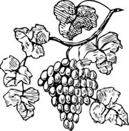 black and white drawing of grapes on a vine