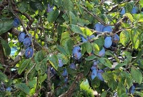 blue plums on a tree