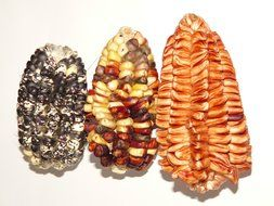 different varieties of maize