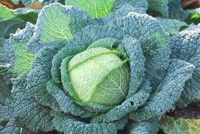 green cabbage with large leaves