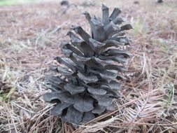macro photo of pine cone plant in nature