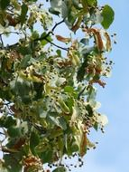 linden fruits at sky
