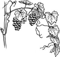 black white drawing of grapes on a vine with leaves