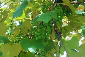 green grape bunch sunny scene