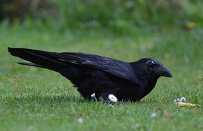 foraging black crow
