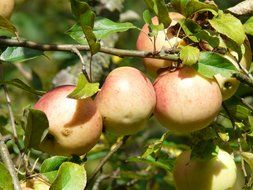 apple tree fruit vitamins