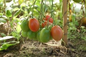 healthy tomatoes grow in the dacha