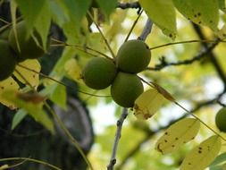 fruits black walnut