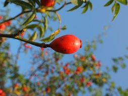red rose hip fruit wild plant