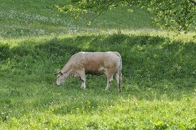 beige cow grazes in the meadow