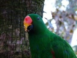 green parrot eating, eclectus