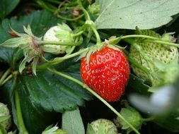 strawberry on strawberry plant