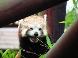 hungry red panda