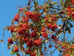 branchs of mountain ash on a background of blue sky