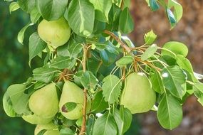 green pears on branch