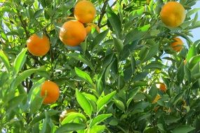 tangerine citric tree nature fruit