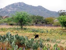 farm in backcountry, landscape with sheep grazing among cactus thickets
