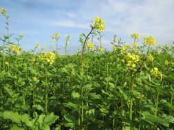 mustard field with yellow flowers
