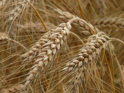 spikes of rye closeup