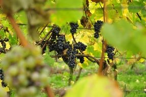 blue grapes in vineyard