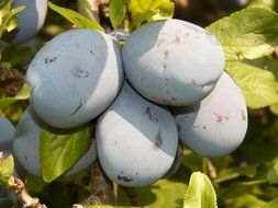 blue plums on a tree branch