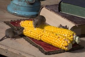 field mice are eating corn