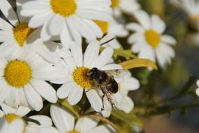 bee collecting nectar from camomile