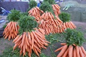 a lot of long carrots in a garden