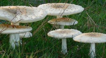 natural poisonous mushrooms on a green lawn