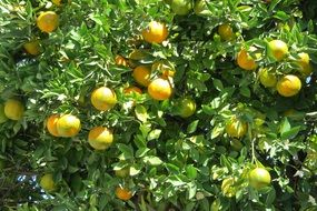 tangerine citric tree