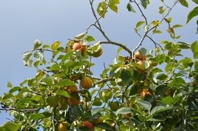 yellow peaches on branch