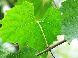 green grape leaves in nature