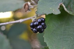 ripe natural blackberry on a branch