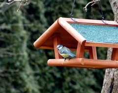 blue tit sits on house form bird feeder