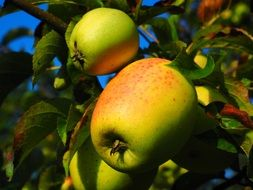 healthy vitamins apple tree fruit frisch orchard