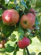 orchard apple tree fruit red frisch