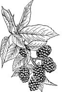drawn blackberry on a branch