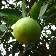 green orange fruit ripening on tree
