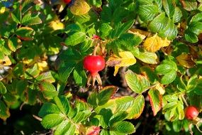 wild red berries with many green leaves