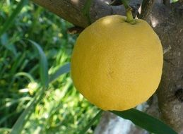 ripe lemon on a tree