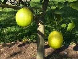 lemon tree with unripe fruits