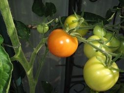 green tomatoes on a plant branch