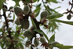 fruits on almond tree branches