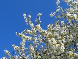 white flowering of a fruit tree