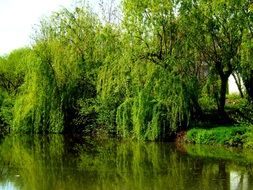 willow reflected in a lake in Balta