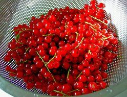 red currant berries in a sieve